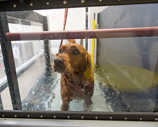 dog in underwater treadmill